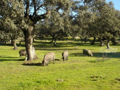 Iberisches Schwein